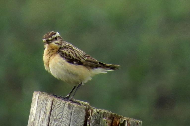 Uz ganību mieta mani sagaida uztraucies putniņš, laikam kaut kur netālu ligzdiņa. Ja kāds to atpazīst, gaidīšu komentārus.