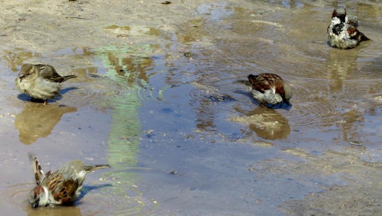 Peļķē mazgājas zvirbuļi- būtu vairāk laika, varētu fotogrāfēt stunām ilgi...
