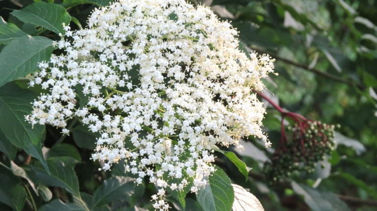 Kad uzspīd saulīte var pastaigāt pa dārzu - vai esat redzējuši, ka plūškokam vienlaicīgi ir gan ziedi, gad ogas?