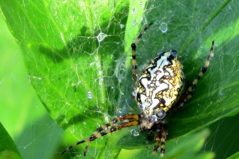 No savas mājiņas lupstājā izlien raibais zirneklis.
