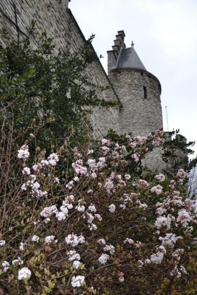 14. marts. Pelēkā dienā apmeklējam Antverpeni, kur uzmanību vairāk par vecpilsētu piesaista kāds ziedošs krūms pie Antverpenes cietokšņa.