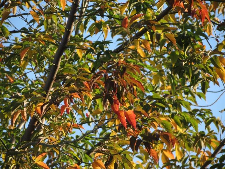... dažādo krāsu parādīšanās koku lapās ...