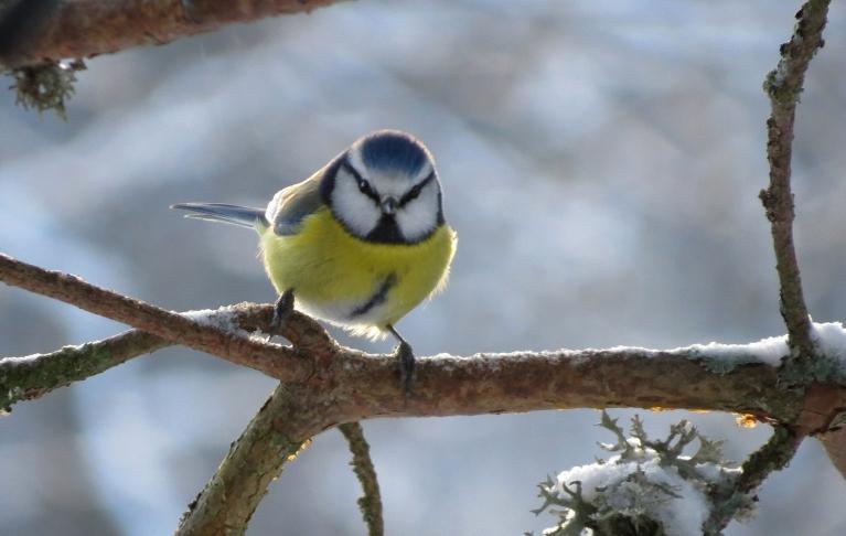 Saulainā laika sprīdi izmanto putniņi, lai barotavā piepildītu vēderiņus (arī zilzīlīte).