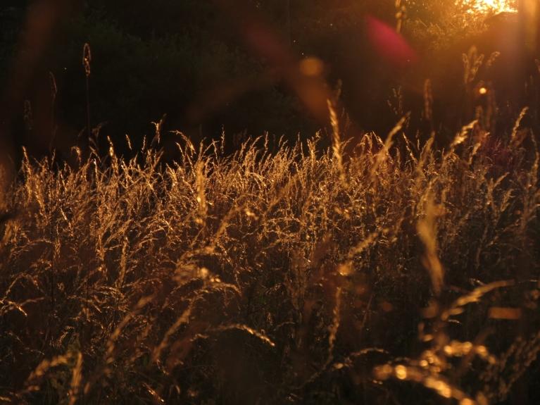 21.07. Rietošās saules apspīdētās smilgas