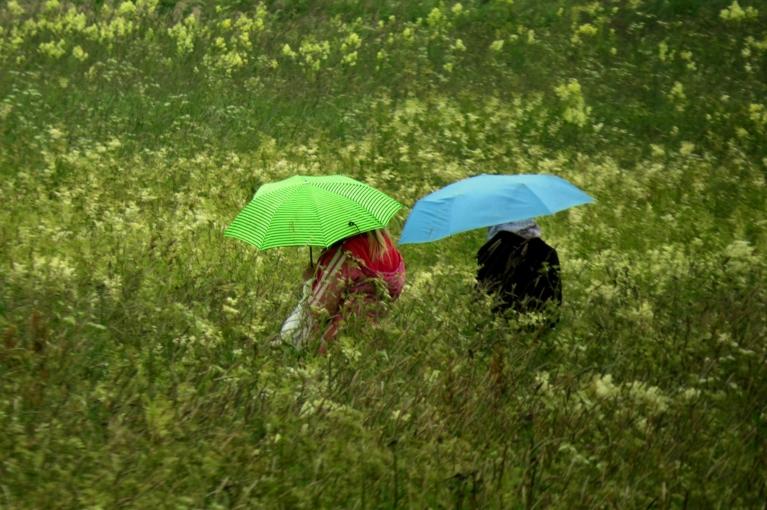 Pēterdiena iesākās ar lietu. Manai vīgriežu pļavai šādi laika apstākļi patīk, izstiepušās līdz pat pleciem (man) un zied reibinoši...