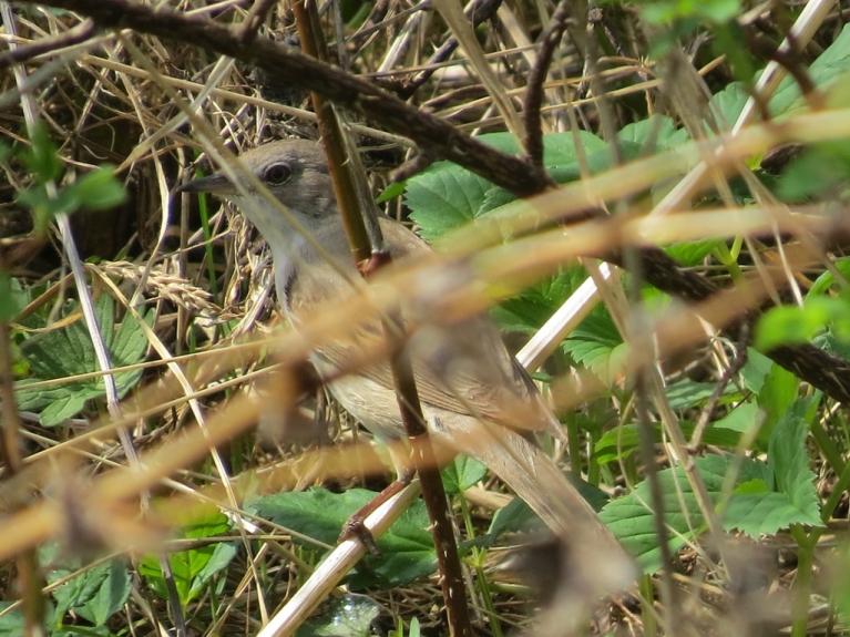 Bet šis savijis ligzdiņu asā mežrožu krūmā - šo pelēcīti es neatpazinu.