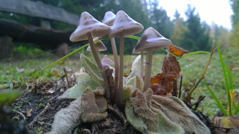 Sēņu puduris oktobra sākumā Pokaiņu mežā