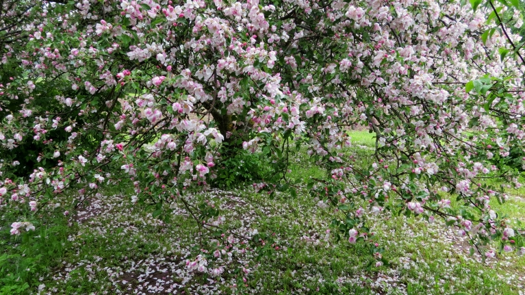 Zem ābelēm-ziedlapu klājiens.