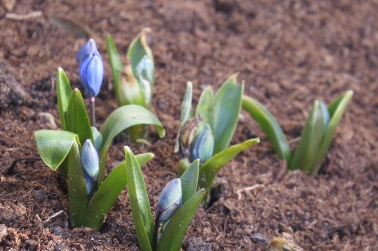 Apstaigāju dārzu- dobē parādās zilā krāsa...