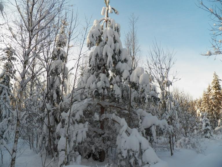 Sniegs mazliet piesalis, nopurināt pagrūti, tāpēc skujukoki pilni ar sniegu arī pēc vējiem