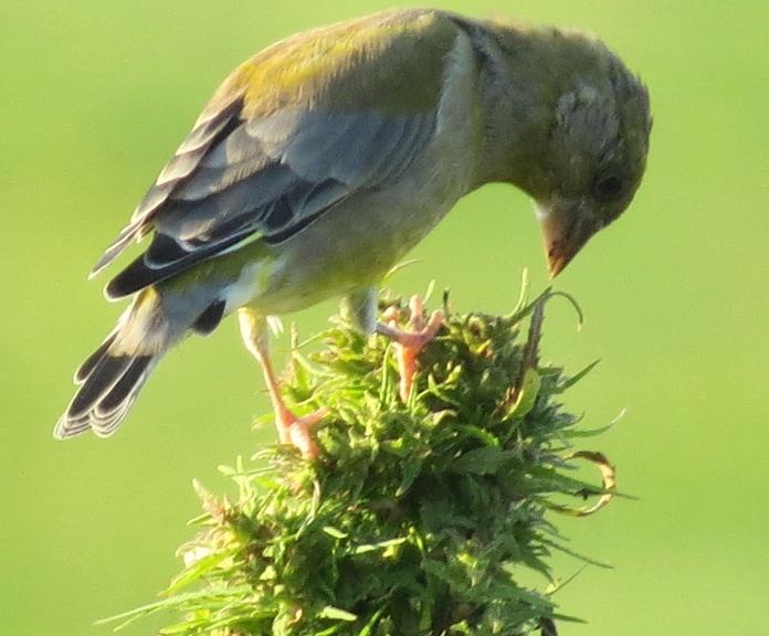 Putniņi steidz uzkrāt tauku rezervītes ziemai.