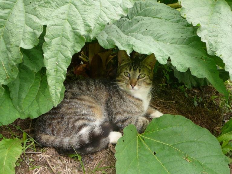 Pēcpusdienas nomidzis zem rabarberu lapām