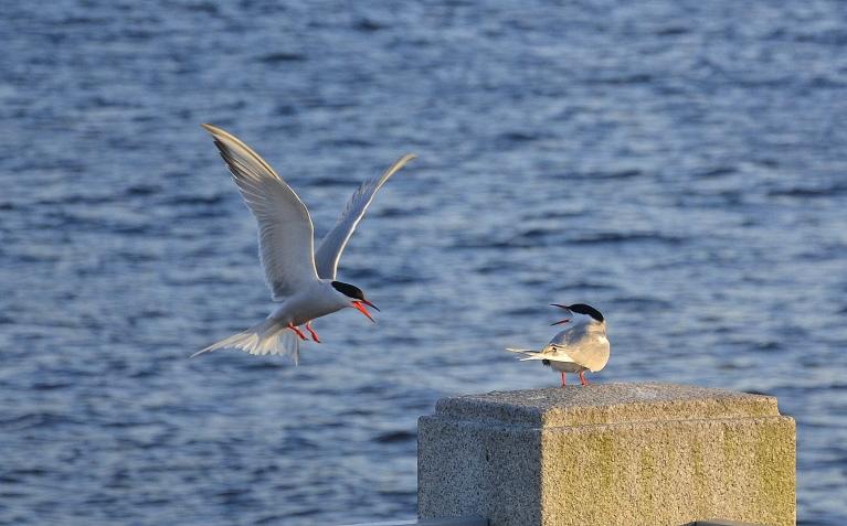 """Daugavas malā """"maigojas"""" upes zīriņu pāris."""