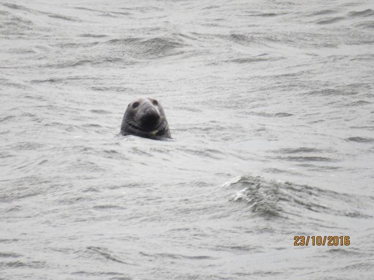Daugavgrīvas ronis tuvplānā
