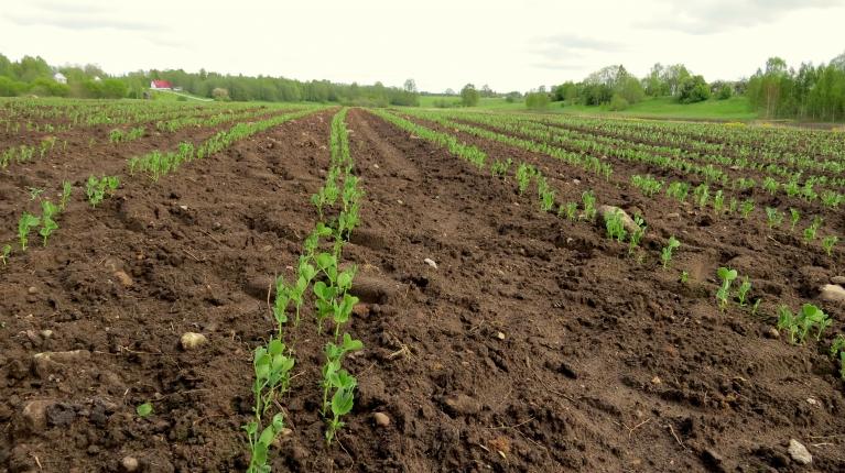 """Zemnieku laukos jau aug jaunā """"Rimi"""" produkcija."""