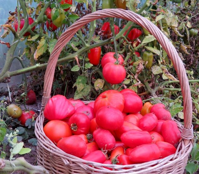 """Manā siltumnīcā tomātu ražas kulminācija, nu jau drīz sāks iet mazumā. Gurķi savu """"ražošanu"""" jau pabeiguši."""