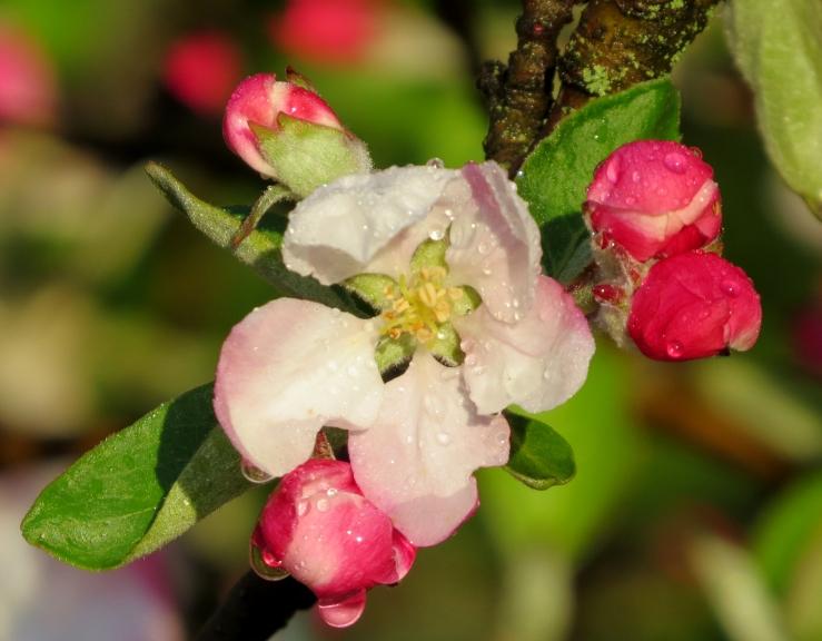 Rasains, saulains rīts. Zied ābeles.