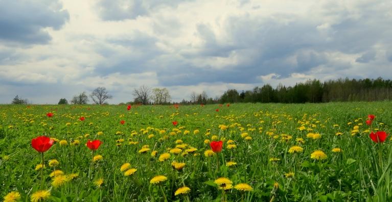 """Citiem pļavās zied magones, mums """"savvaļas"""" tulpes."""