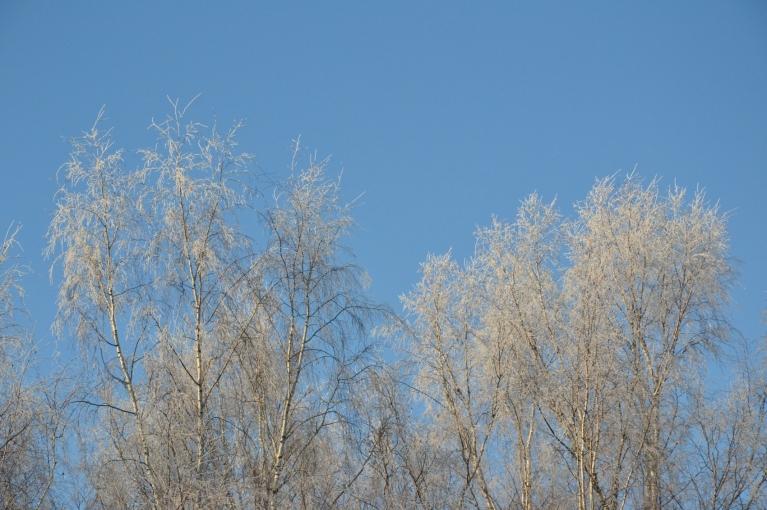 2. decembra pēcpusdienā, kad tieku pie fotoaparāta, vēl pāri palikusī sarma bērzu galotnēs kontrastē ar tīri gaišzilajām debesīm.