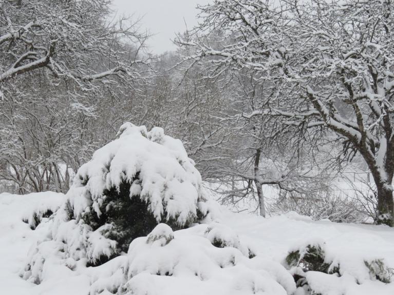 Autors: Migla. 10. janvāra rīta puse. Vakar, 9.01. vēl viss bija tikpat kā bez sniega, šodien - visiem baltas cepurītes