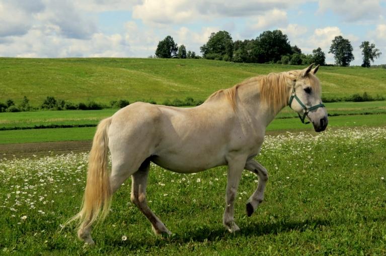 Bet spīdēja saulīte un baltajās margrietiņās ganījās baltais zirgs.