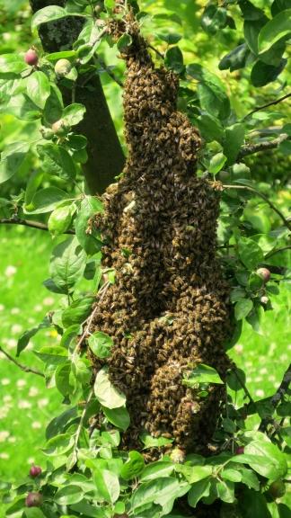 Siltais laiks aicina kaimiņa bites uz spietošanu, šis jau otrais spiets divu dienu laikā.