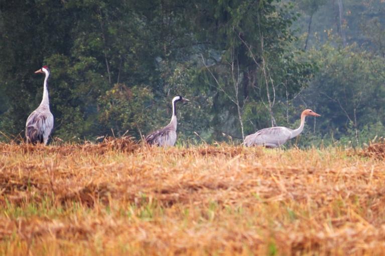 Šorīt mežmalā ļoti skaļi klaigāja šī dzērvju ģimenīte