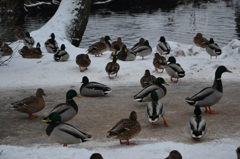 Pīles gan nelielais saliņs nebiedē - blakus upīte, kas no ledus ir brīva, un cilvēki vēl tās baro - pilns komforta serviss... :)