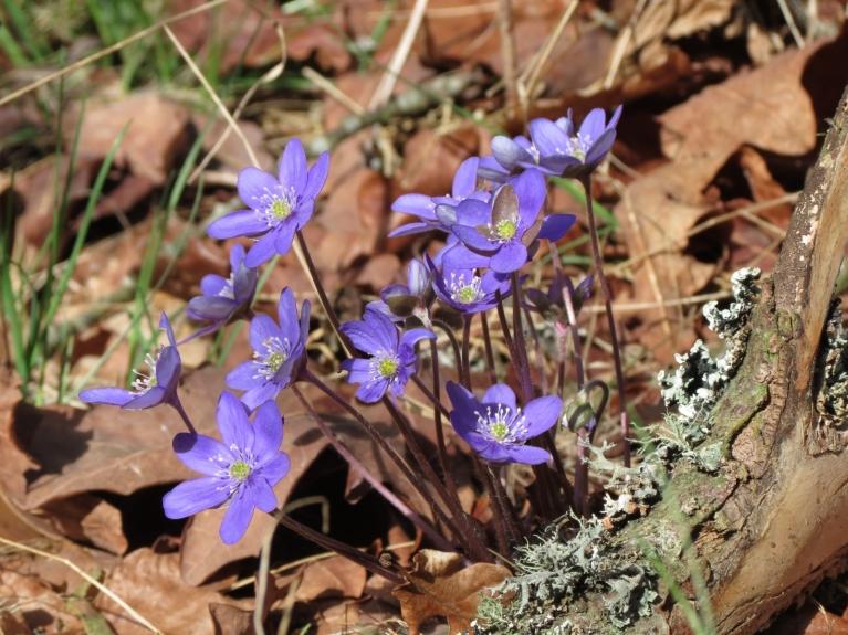 Cenšoties neuzkāpt kārtējam ziedu puduram, dažu minūšu laikā ieraugu jau pāris ērces