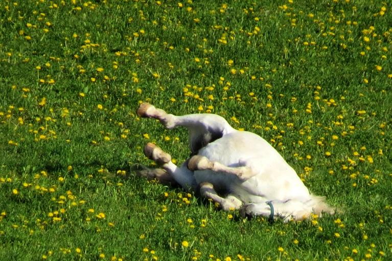 """""""Pakavi gaisā""""- tā par silto dienu priecājas zirgs, vārtoties pieneņu pļavā."""