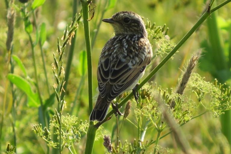 Vēl nenopļautajā pļavas daļā pilns ar jaunajiem putneļiem.