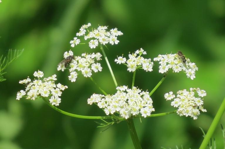 Vai esat ievērojuši, cik skaists ir ķimenes zieds?