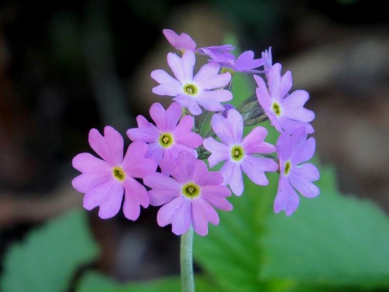 Priecājos, kad birzītē atradu ziedam bezdelīgactiņas. Tās mūsu pusē manāmas arvien retāk.