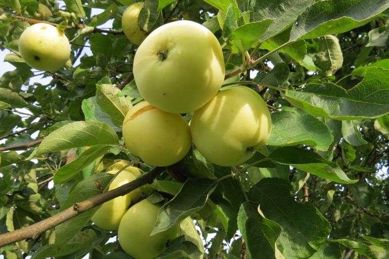 Sākoties lietus periodam dzidrie āboli plīst jau kokos.