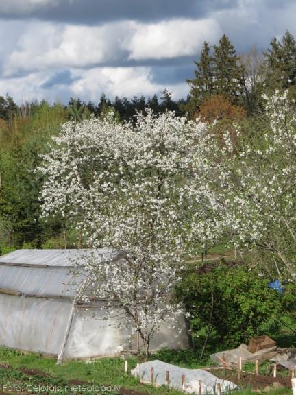 Ziedi pamazām nobirst, tos purina spēcīgais vējš