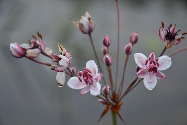 Daugavmalas ziediņi uzkrāj sīkās rasas pērlītes.