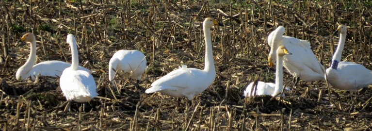 Pusdienas laikā putni vēl turpat uz lauka.