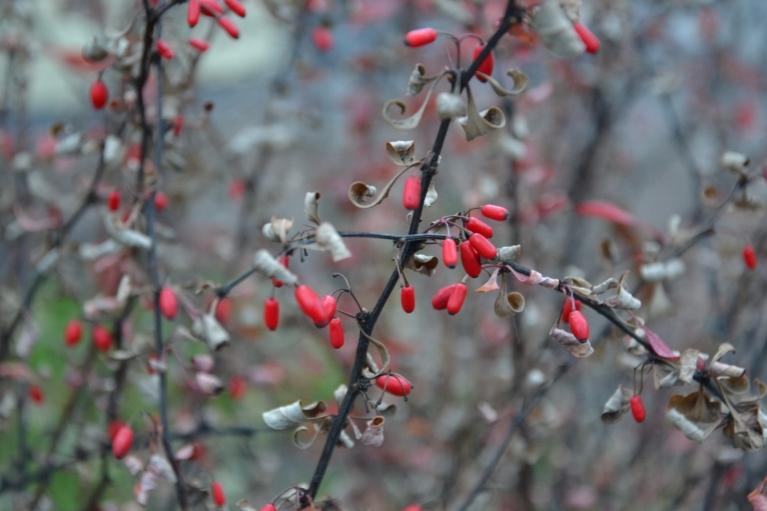 17. novembris. Nomācošajā pelēcībā izceļas sīkās, košās, sarkanās bārbeles odziņas.