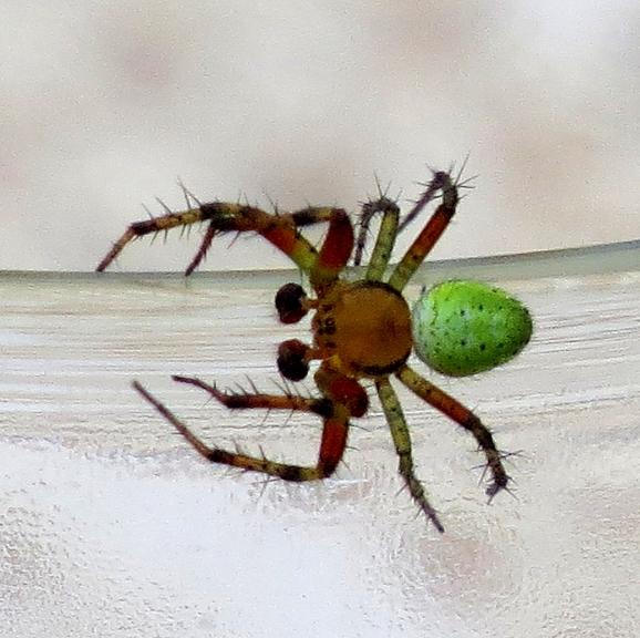 Toties izdevās nofotogrāfēt kādu ļoti krāsainu zirneklīti.