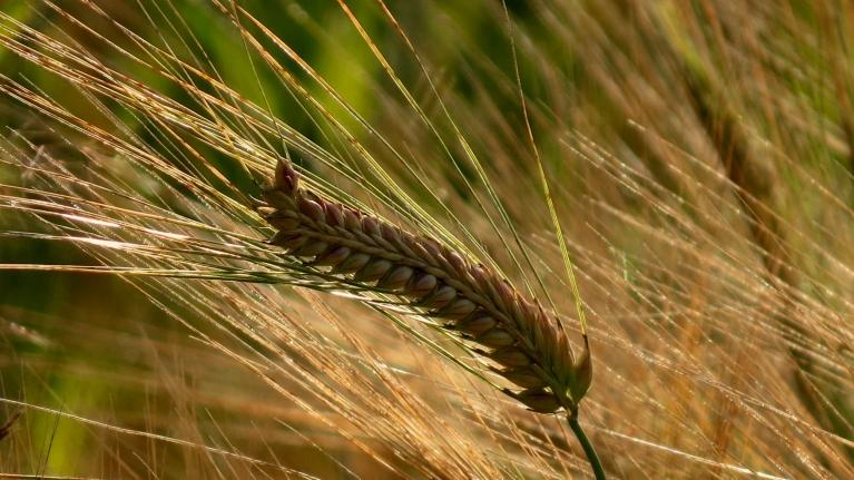 Šādā karstumā pastiprināti gatavojas labība, graudi gan esot samērā nelieli, sūdzas zemnieki.