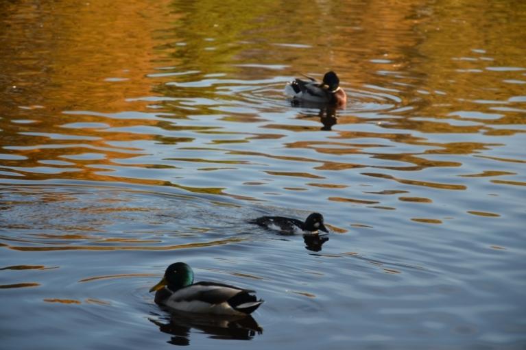 """""""Vakars uz ezera"""" ar divām pīlēm un ik palaikam ūdenī ienirstošo gaigalu"""