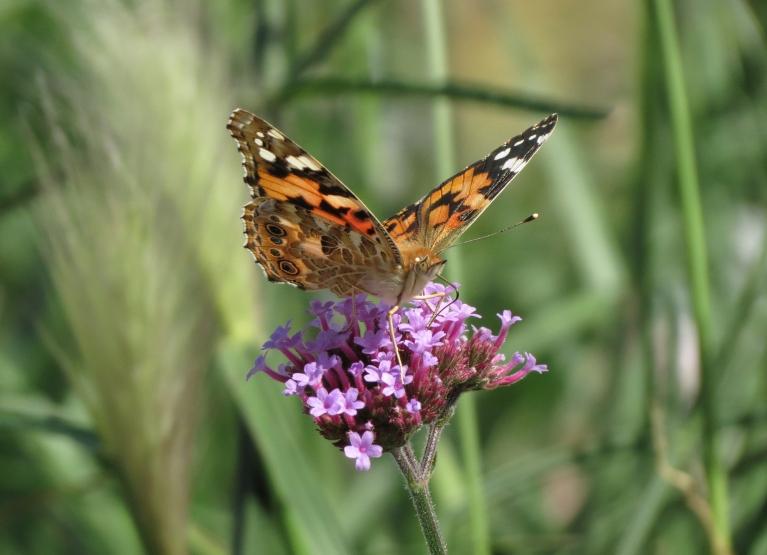 ... un taureņu spārnu rosību ap vieniem no pēdējiem vasaras ziediem.