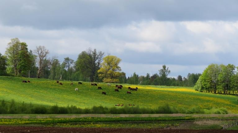 Govis ganās zaļajās pļavās.