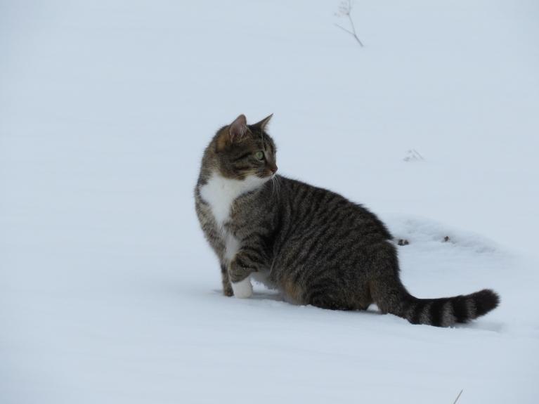 Autors: Migla. Allaži, 3.februāris. Nesenais atkusnis uz sniega izveidojis sērsnas kārtiņu, kaķis iet pa virsu