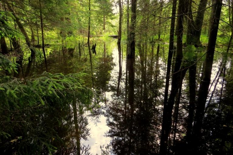 Ja jau Jāņos uz mežu, tad Pēteros arī. Lai tiktu līdz labajām sēņu vietām, nākas šķērsot meža upīti, ko bebra kungs pamanījies aizdambēt un izveidot uzpludijānumu.