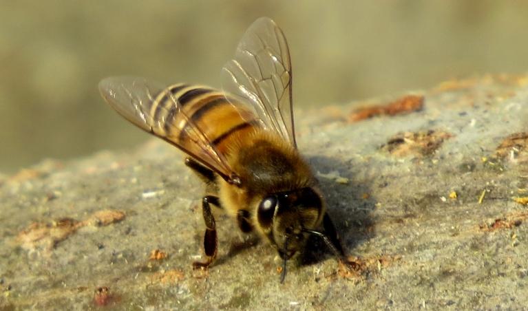 Uzspīdot saulītei, t paaugstinās līdz +12,8, sākas masveida bišu izlidošana no stropiem.