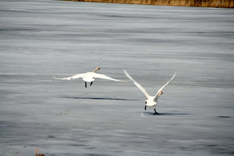 15.04.2012. Vecpiebalga. Gulbju skrējiens pa Zobola pēdejo ledu.