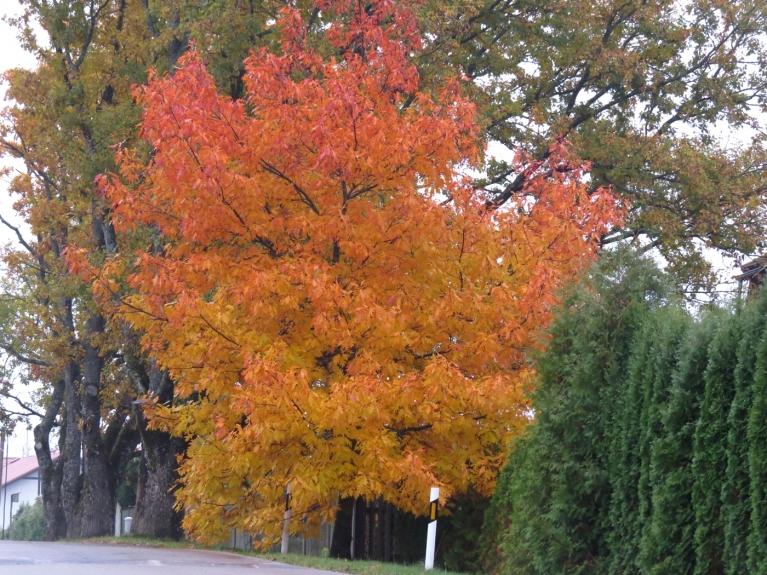 Par spīti visam - sirdi priecē lapu košās krāsas.