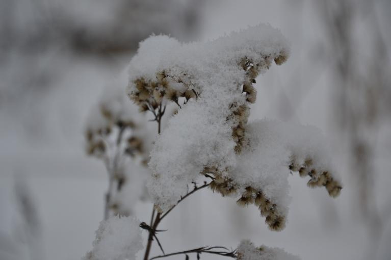 Pagājušajā nedēļā nedaudz sniga, bet ar to pietika, lai pūkaino čemuru apsegtu eleganta sniega cepurīte.