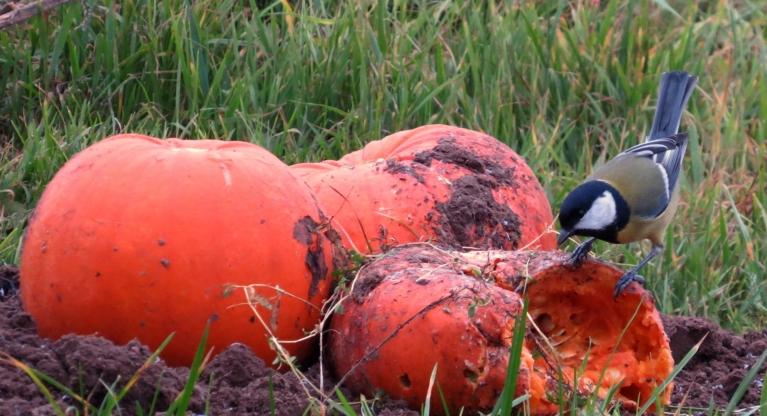 18. novembra rīts- vēl nomācies. Zīlītēm laba apetīte- apsalušie ķirbīši netiek skādēti.